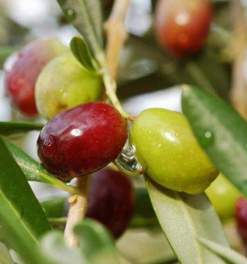 oliwki na drzewie